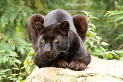 Black Panther. A black panther lying on a rock, in captivity at the Santago Rare Leopard Breeding Centre stock photos