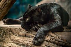 Free Black Panther Stock Photo - 111366990