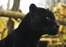 Black Panther. A black panther sitting and watching. Focus is on the eye Royalty Free Stock Image