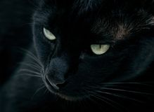 Black Panther. Low-key portrait of a black male cat Stock Images