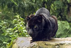 Black Panther. The Black Panthther (Panthera onca Royalty Free Stock Images
