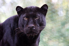 Black panther. Close up of a black panther, starring in the camera Stock Photos