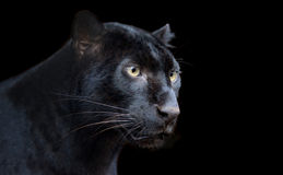 Black Panther. Beautiful black panther on dark bacground Stock Image