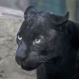 Black panther. A Beautiful black panther. Portrait Royalty Free Stock Photography