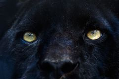 Black panther. Close-up of a black panther Royalty Free Stock Images