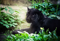 Black panther. Lying down and resting royalty free stock photos