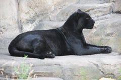 Free Black Panther Stock Photo - 35563090