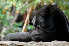 Black Panther. This images shows a sleeping black panther Stock Photography