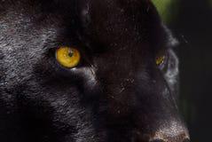 Black panther. Close-up of a beautiful black panther Stock Photos