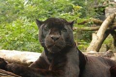 Black Panther. Photo of a black panther Stock Photos