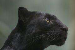 Black Panther. Profile Stock Photo