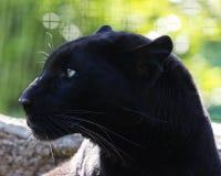 Free Black Panther Royalty Free Stock Images - 71771869