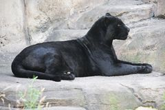 Black panther. Beautiful photo of graceful black leopard - panther Stock Photo