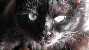 Black panther cat. Close up of a common, european black cat with green eyes open. Horror atmospheres and halloween concept. Look panther and witch eyes. Bad luck stock footage