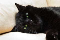 Black panther cat. Portrait of a common, european black cat with green eyes on sofa background. Horror atmospheres and halloween concept. Look panther and witch Stock Photo