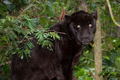 Black Panther with Glowing Eyes. A large black panther with glowing eyes sitting in the jungle flora of Belize Royalty Free Stock Photography