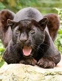 Black Panther Growling Royalty Free Stock Image