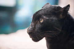 Black panther. Head close up Royalty Free Stock Photo