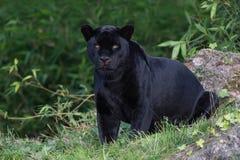 Black Panther/Jaguar Panthera onca stock image