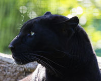 Black Panther. Panther is a large black wild cat that is good at hunting Royalty Free Stock Images