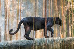 A black panther is the melanistic color variant of big cat royalty free stock photo
