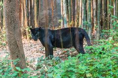 A black panther is the melanistic color variant of big cat stock photo
