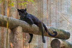 A black panther is the melanistic color variant of big cat royalty free stock images
