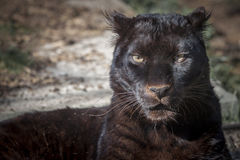Black panther. Portrait of a beautiful black panther stock photos