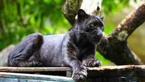 Black panther resting in forrest. Black panther resting in the forrest stock footage