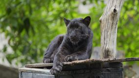 Black panther resting in forrest. Black panther resting in the forrest stock video