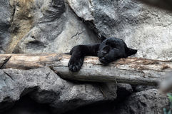 Black panther sleeping shift the paw of the tree. Tenerife. Spain Royalty Free Stock Images