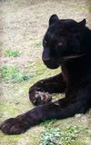 Black panther, a variant of the leopard. Leopard is one type of mysterious felid, very beautiful Royalty Free Stock Image