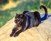 Black Panther. At wildlife sanctuary near Plettenberg Bay, South Africa Royalty Free Stock Photo