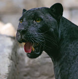 Black Panther. With yellow eyes stock photography