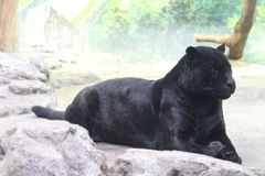Black Panther. Panther at the Zoo royalty free stock photo