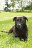 Black pariah-dog lying. In the green garden Royalty Free Stock Photo