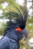 Black Parrot Royalty Free Stock Image