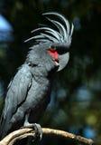 Black parrot Stock Photo