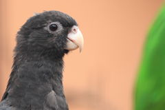 Black parrot Royalty Free Stock Photos