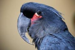 Birds seen in Kuala Lumpur Bird Park. Black Parrot seen in bird park in Kuala Lumpur, November 30, 2017 Stock Photos