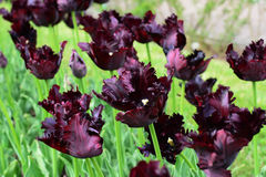 Black parrot tulips royalty free stock image