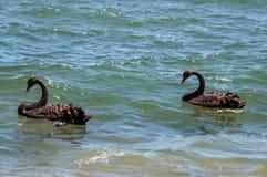 black parswans Fotografering för Bildbyråer