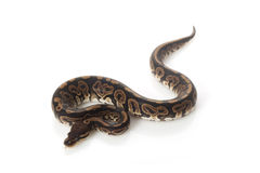 Black pastel ball python Stock Photos