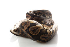 Black pastel ball python Stock Photo