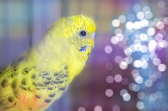 Black patch yellow parrot Royalty Free Stock Image