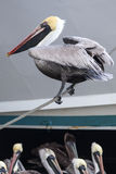 Black Pelican Balancing Royalty Free Stock Image