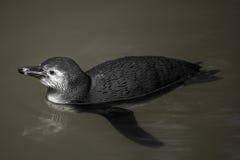Black penguin Stock Images
