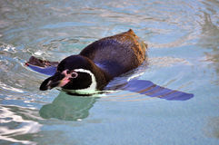 Black penguin. Swin in the clean water Stock Images