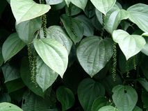 Black pepper. Pepper plant with growing pepper seeds Stock Photo