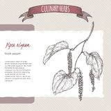 Black pepper aka Piper nigrum hand drawn sketch. Culinary herbs collection. Great for cooking, medical, gardening design Stock Images